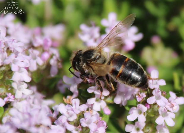 abeille butinant des fleurs de thym