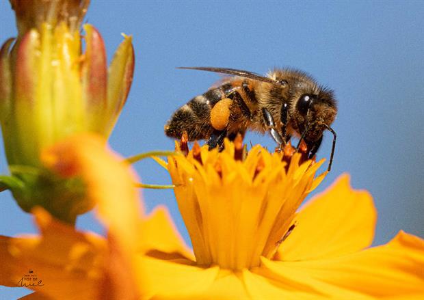 MPPM abeille qui butine- les plantes mellifères