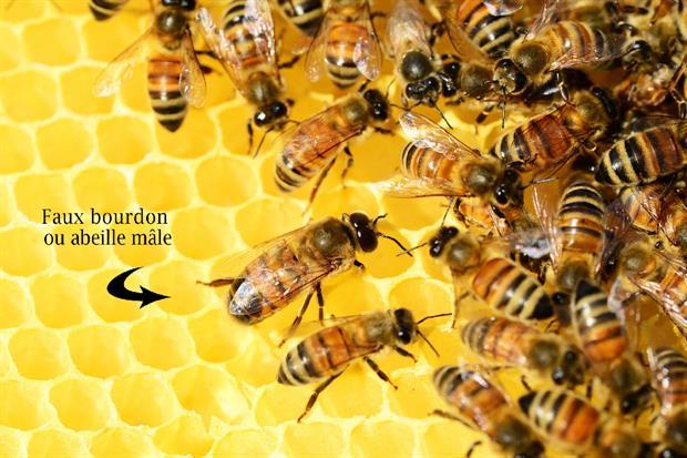 le faux bourdon dans un ruche : à quoi sert-il ?