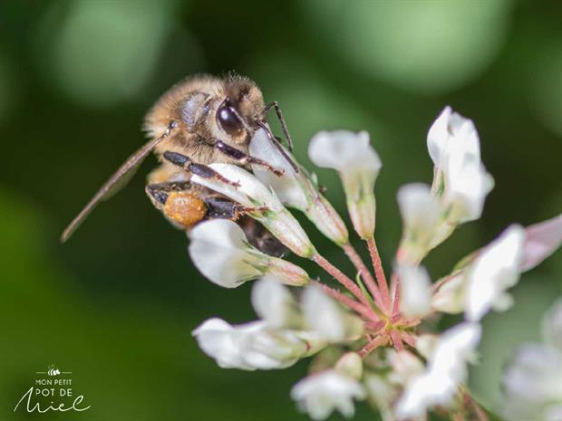 MPPM abeille butinant du trèfle les plantes mellifères pour les abeilles