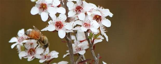 abeille qui butine une fleur de manuka