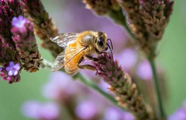 abeille butinant des fleurs photo macro