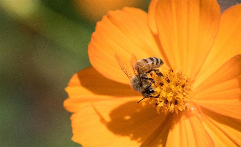 abeilles et fleurs PHOTO MON PETIT POT DE MIEL.COM