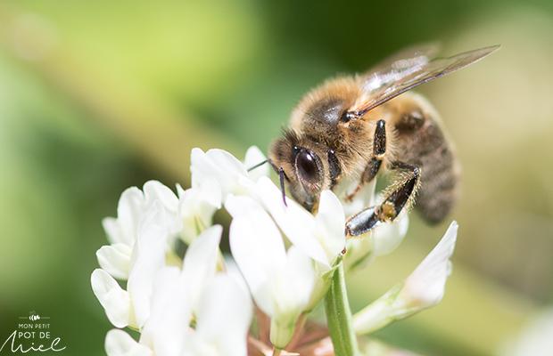 abeilles butinant un trèfle sur une pelouse non tondue