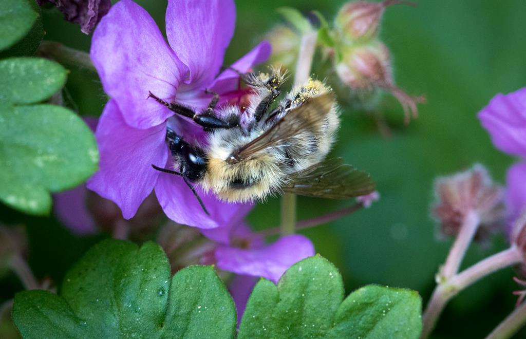 Piqûres d'abeilles : où font-elles le plus mal