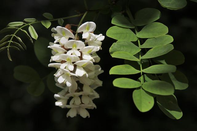 fleurs d'acacia pour la recette des beignets de fleurs d'acacia