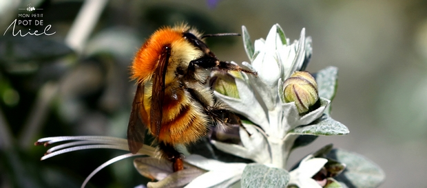 pollinisateur le bourdon