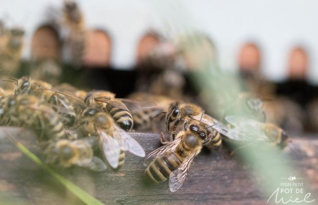 abeilles devant l'entrée d'une ruche- gardiennes-photo-macro-MMPM