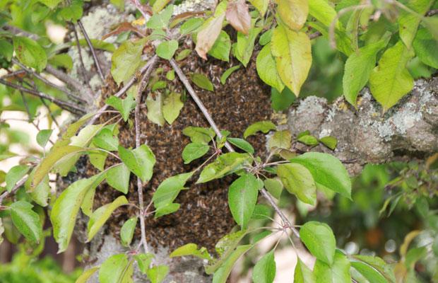 essaimage des abeilles - elles se regroupent en grappe