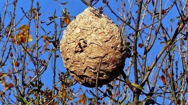 nid de frêlons asiatiques