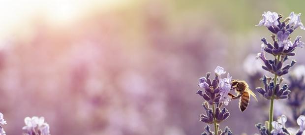 abeille sur lavande_miel