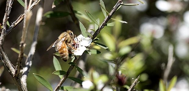 miel de manuka - miel cicatrisant et antibactérien - mon petit pot de miel