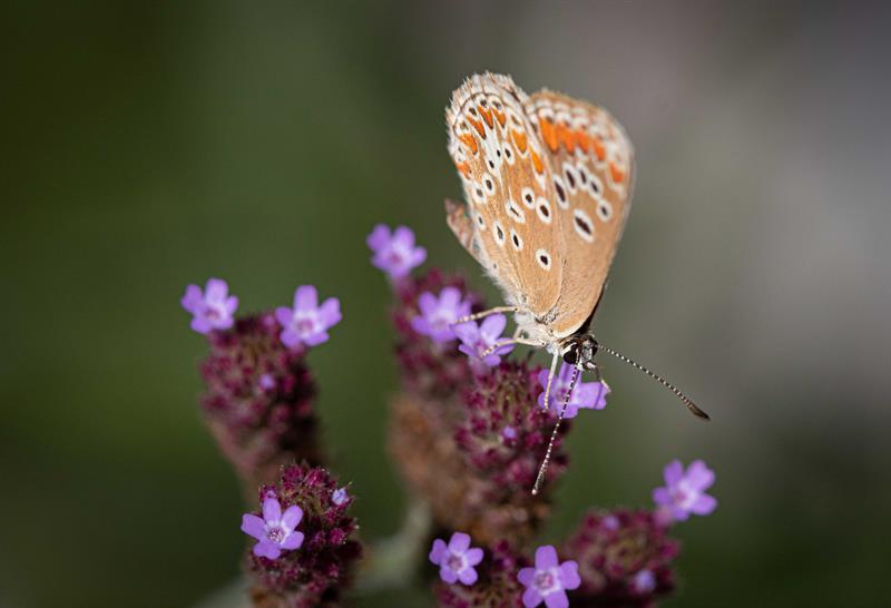 pollinisateur le papillon