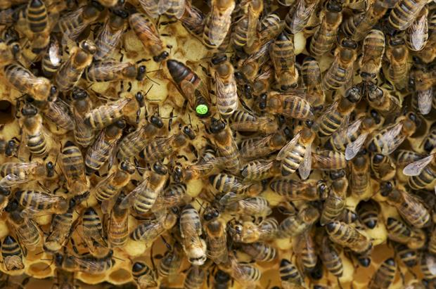 identification de la reine des abeilles dans une colonie