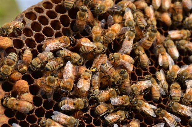 vu d'un cadre de ruche avec la reine et des faux bourdons