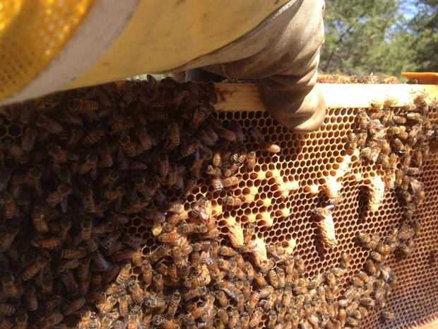 identification des cellules royales pour des futures reines d'abeille