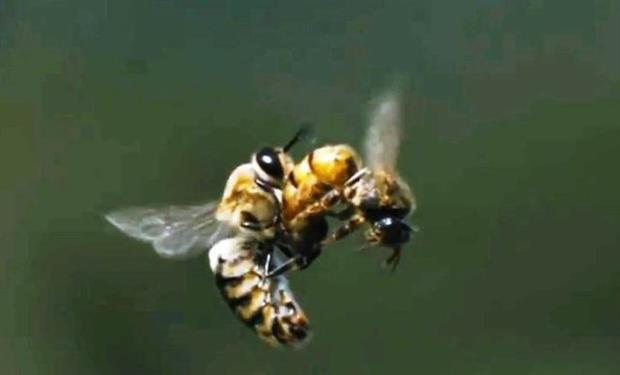 vol nuptial de la reine des abeilles